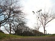 桜の並木道(2)