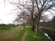 桜の並木道(1)