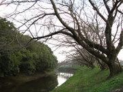 桜の並木道(5)