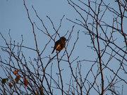 不明な鳥(1)