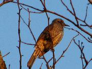 不明な鳥(2) デジタルズームあり