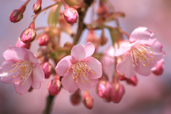 河津桜(5)