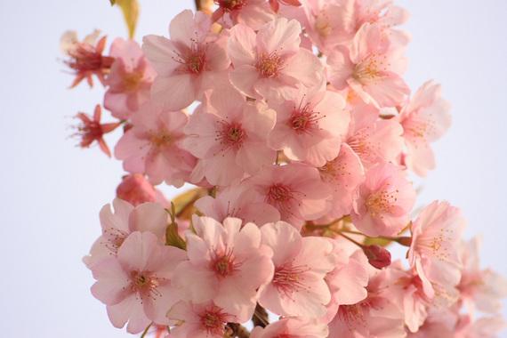 河津桜(4)