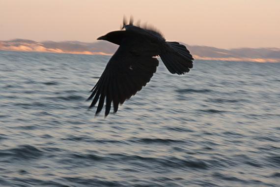 海辺を飛ぶカラスさん