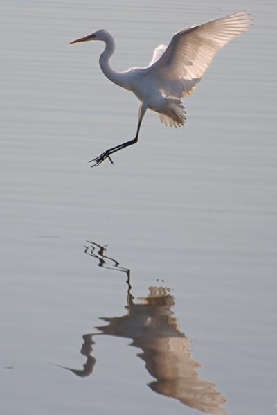 白鷺が着水するところ