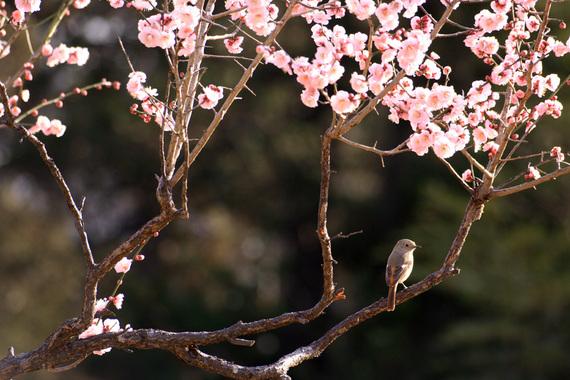 梅とジョウビタキ(1)