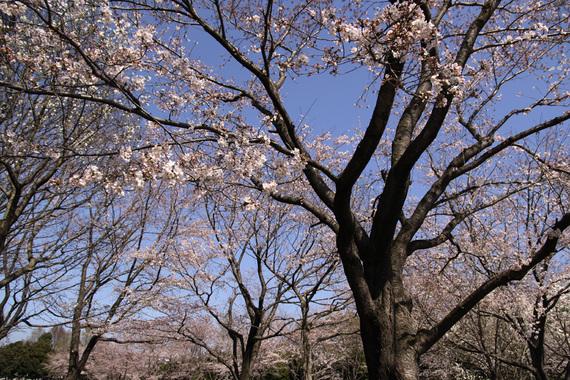 立沢公園のソメイヨシノ(1)