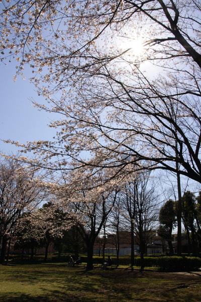 立沢公園のソメイヨシノ(2)