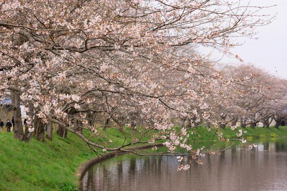 福岡堰のソメイヨシノ(1)