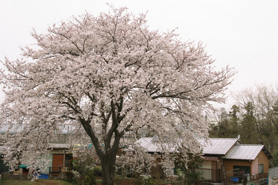 家の裏のソメイヨシノ(仮)(1)