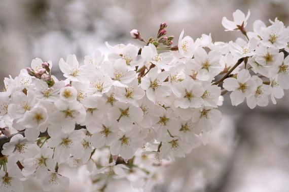 家の裏のソメイヨシノ(仮)(3)