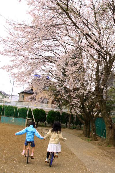 小学校のソメイヨシノ(2)