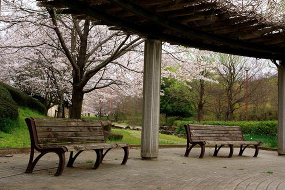 四季の里公園のソメイヨシノ(2)