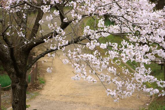 四季の里公園のソメイヨシノ(1)