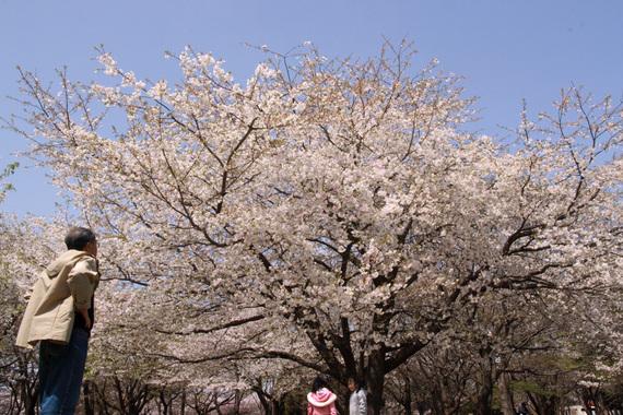 おじさんが見る桜