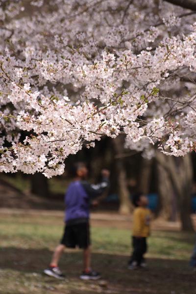 子供が見る桜(2)