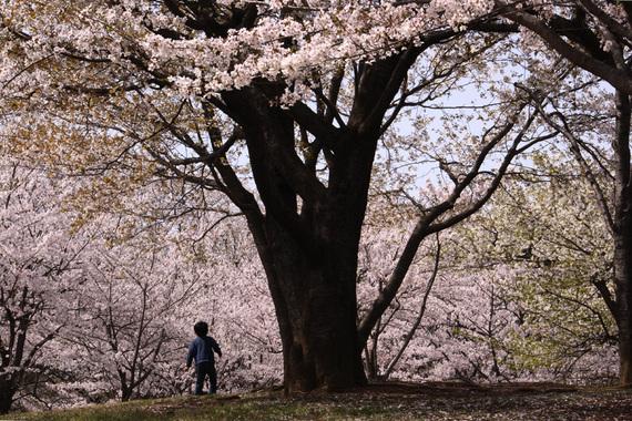 子供が見る桜(1)