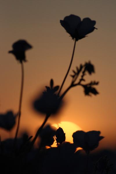 ネモフィラの夕日