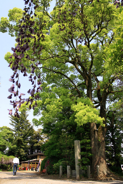 天然記念物の大木