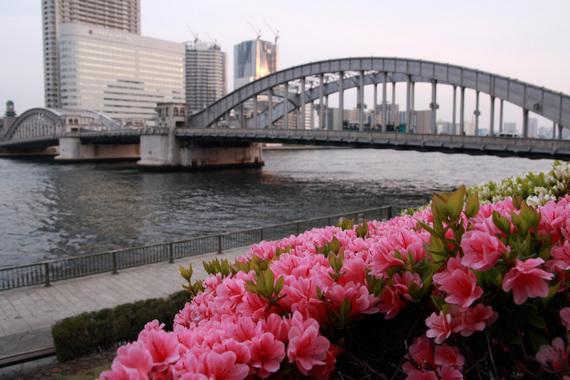 勝鬨橋のクルメツツジ