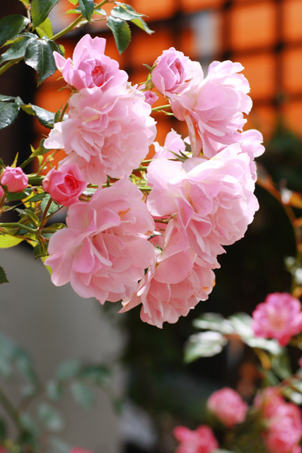 アトリエのバラ