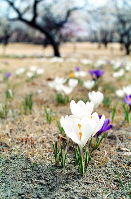雪解けに咲く(3)