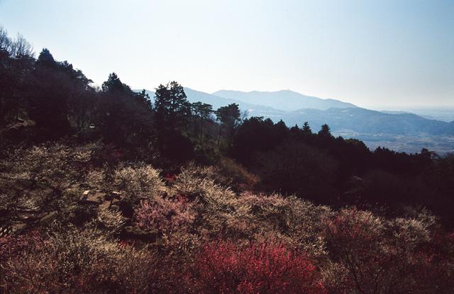筑波の梅(5)