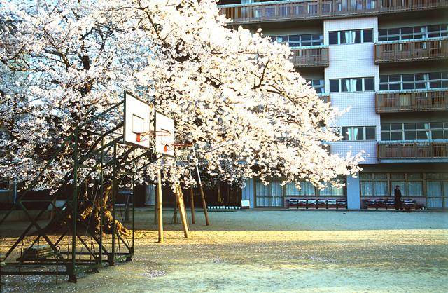真鍋の桜(2)