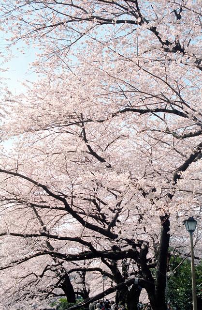 桜 @ 千鳥ヶ淵(4)