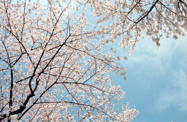 桜 @ 靖国神社(4)