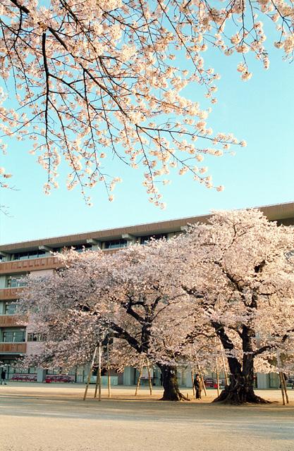 真鍋の桜(3)