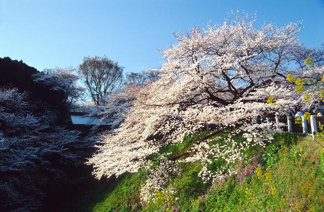 桜の咲く頃に(2)