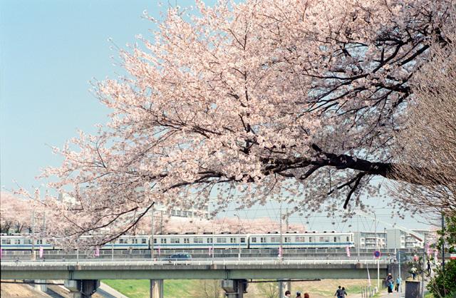 桜 @ 利根運河