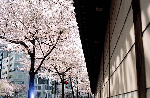 桜 @ 靖国神社(3)