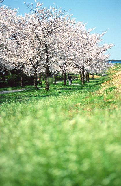 桜トンネル(3)