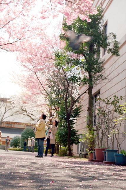 桜 @ 靖国神社