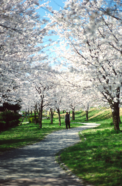 桜トンネル(4)