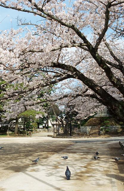 桜2008 のすべて(5)