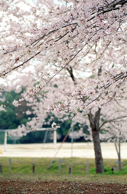 桜2008 のすべて(7)