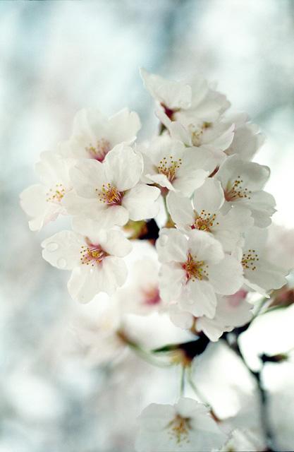 桜2008 のすべて(8)