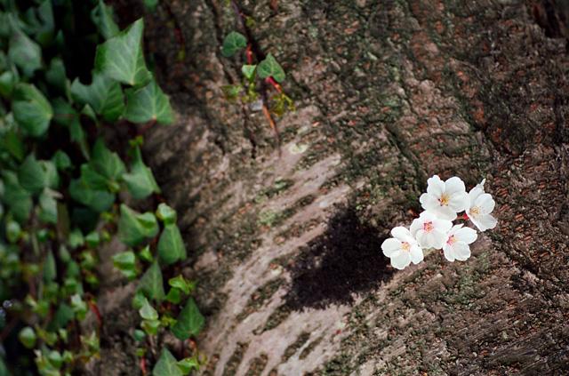 桜2008 のすべて(3)