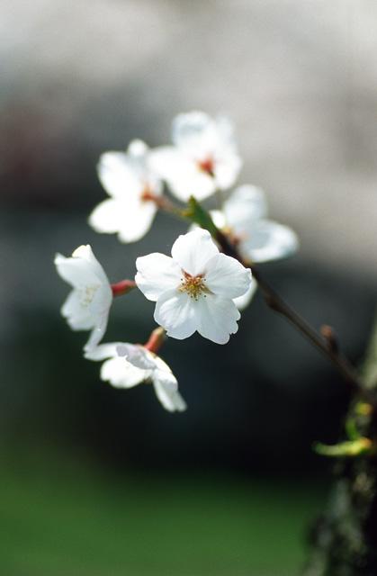 桜2008 のすべて(10)